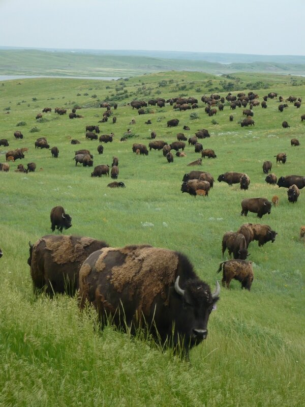Bisons-at-Cheyenne-River-Reservation-111
