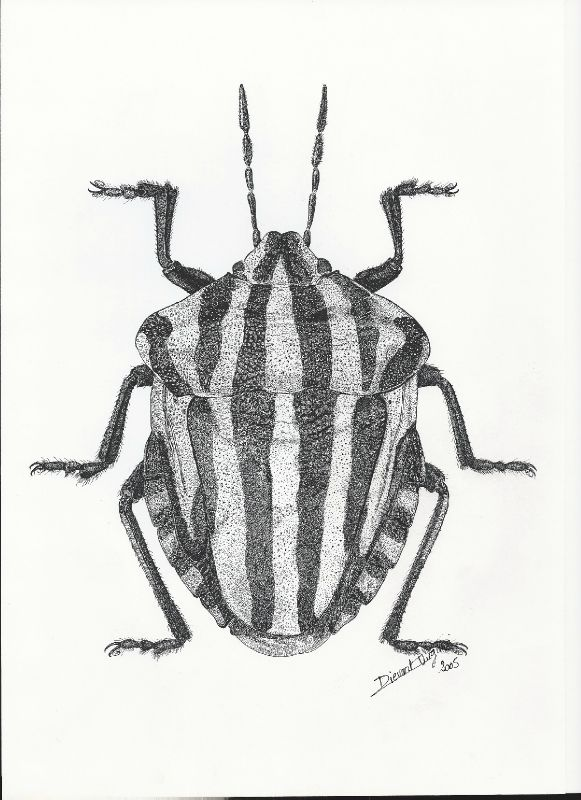 Pentatome rayé (Graphosoma italicum Müll.), encre noire