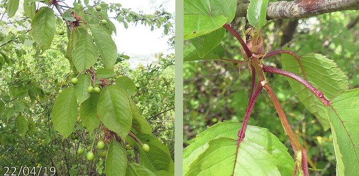 feuilles de 6-15 cm irrégulièrement dentées pétioles à 1-2 glandes rougeâtres
