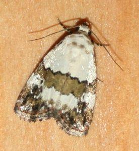 Lithacodia blandula (5)
