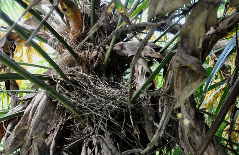 Nid dans le palmier
