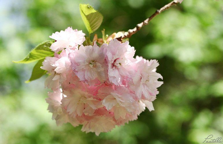 Cerisier rose_13 25 04_1924