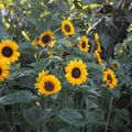 2009 07 26 Tournesol Yellow