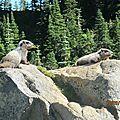 Les marmottes qui se dorent au soleil
