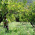 Cueillette d'agrumes à jubrique, andalousie