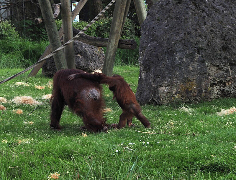zoo-beauval-animaux-singes-4
