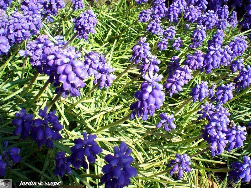 Des Tapis De Fleurs Bleues Contrastent Avec Les Narcisses