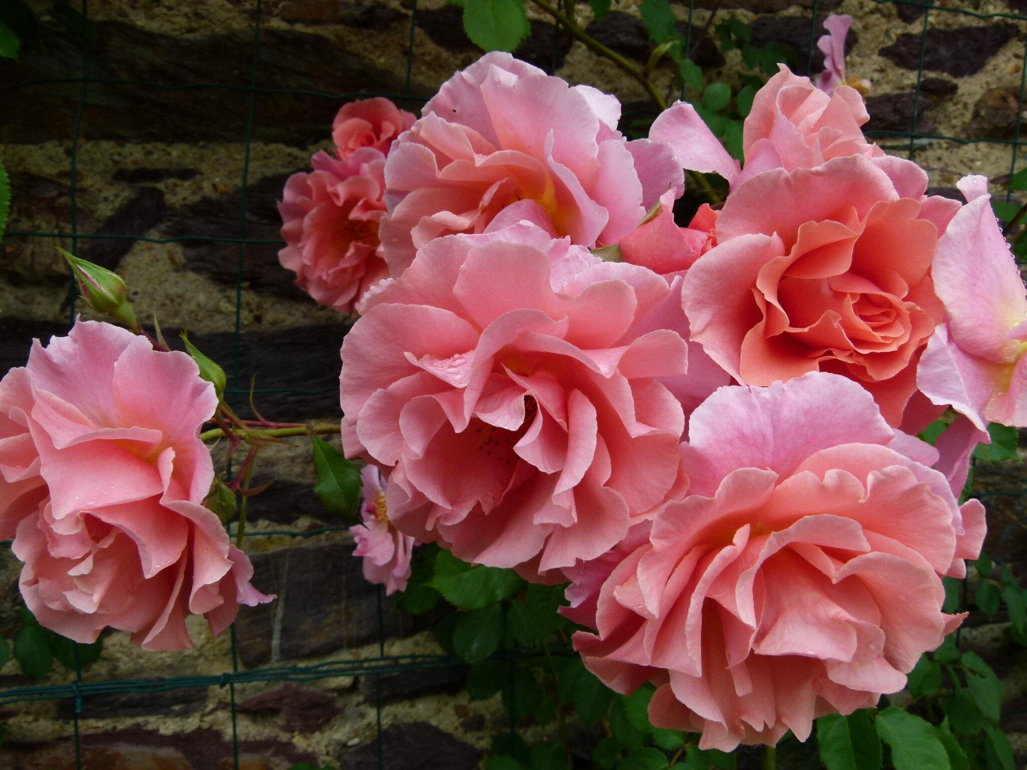 La rose ALibaba